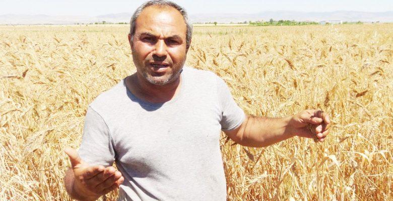 Tarihi geçmişini bilmediği atadan kalma buğdayı 81 ilde üreticilere hediye edecek
