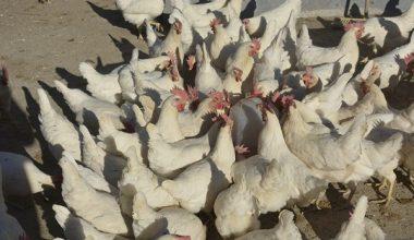 Okulda yetiştirilen tavuklardan elde edilen yumurtadan öğrencilere burs ve tablet desteği