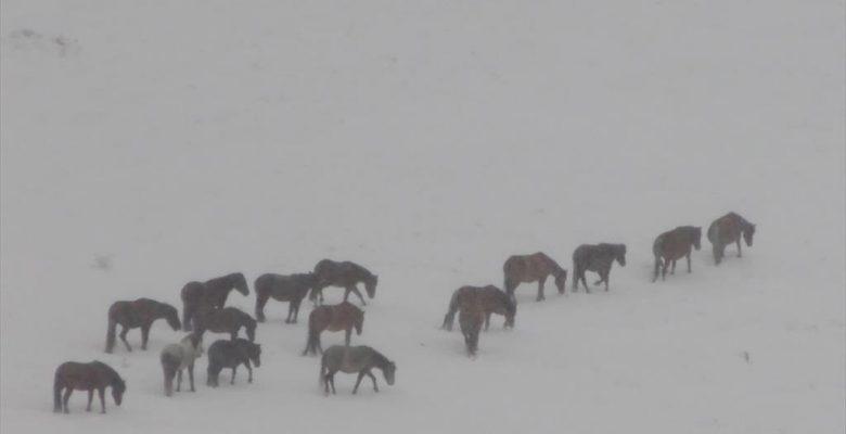 Doğada karlar üstünde yılkı atlarının yiyecek arayışı görüntülendi