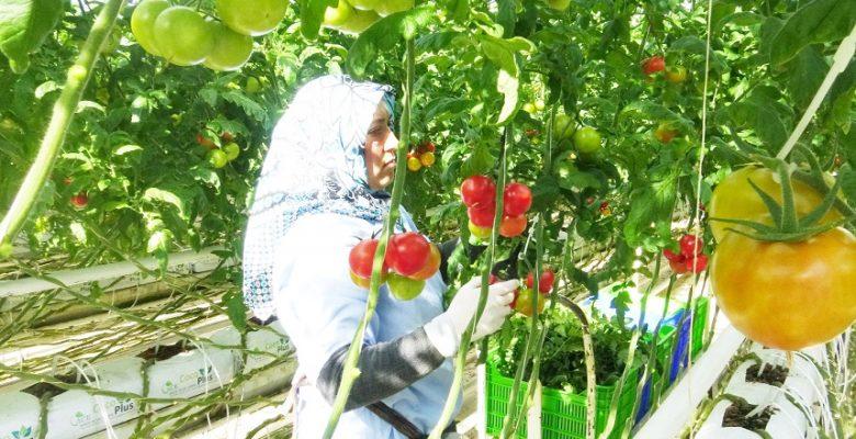 """""""Topraksız Tarım"""" yöntemiyle Jeotermal Seralarda üretilen domatesler,  birçok ülkeye ihraç ediliyor"""